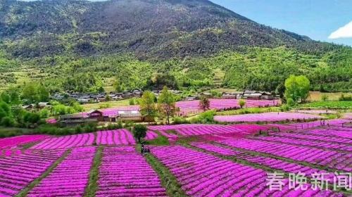邂逅诗意花海 玉龙雪山脚下开满绯红芝樱花
