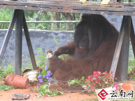/enpproperty-->  陪陪成了破坏大王,把花一颗颗从花盆里面拔出来。(摄影:自建丽) 云南网讯 (记者 自建丽)《猫和老鼠》里,大猫汤姆被小老鼠杰瑞逗得团团转。云南野生动物园的红毛猩猩馆,红毛猩猩培培被两只兔子吓得战战兢兢这只是9月21日野生动物园帮助胖猩猩培培减肥的一个小片段。 一段时间以来,培培由于贪恋游客手里的美食,学会了向游客勾手指要零食,这使得培培日渐肥胖。为了让培培有个健康的体魄,野生动物园想了许多办法试图帮培培戒掉索要零食的习惯,然而都不奏效。9月9日开始,野生动物园向社会寻