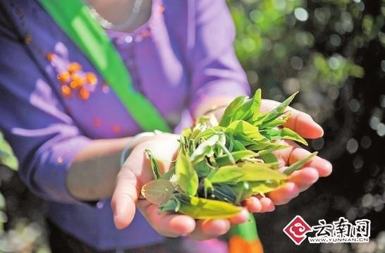 """3月初,云南普洱茶迎来春茶上市,古树茶只涨不跌的走势让茶商喜不胜收。""""今年台地茶价格与去年同期相比基本一致"""