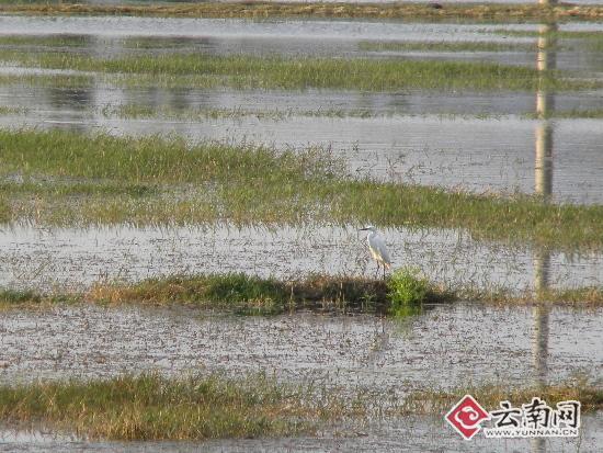 云南祥云县青海湖风景区再现野生水禽(图)