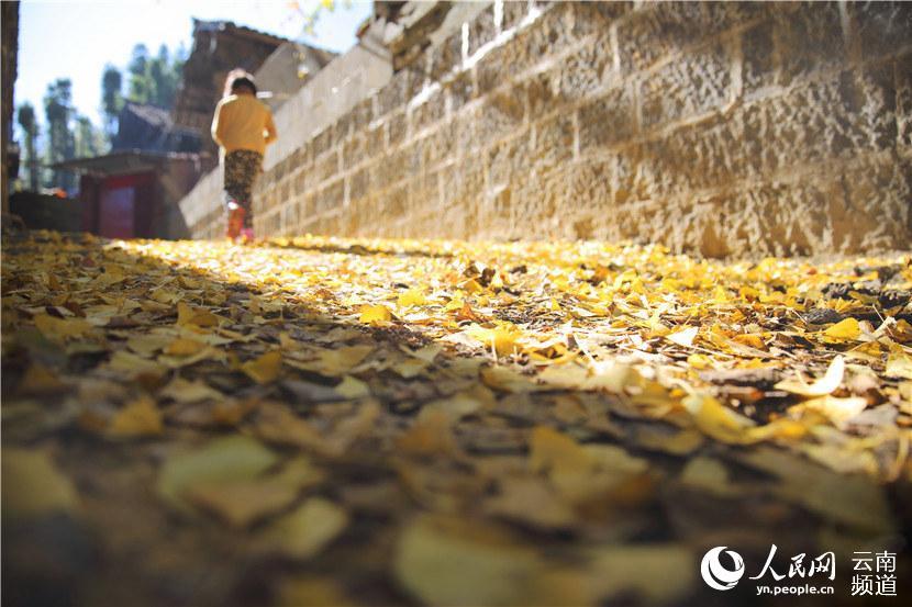 银杏树叶飘落满地 人民网 薛丹 摄-云南最美村落 火山石上的古银杏村