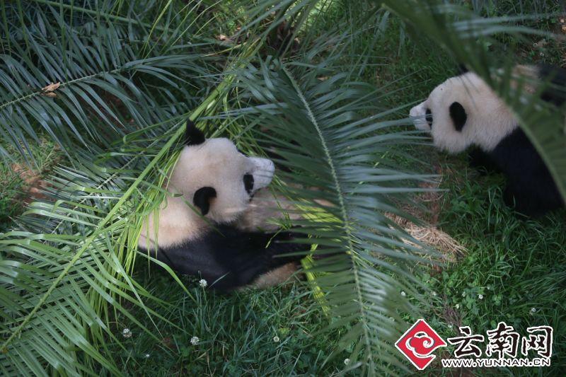 大熊猫是世界上最可爱的动物之一,它们呆萌的表情,胖嘟嘟的身体和