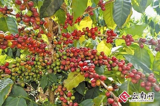 云南咖啡第26届世界咖啡科学大会寻契机 系中国首次举办