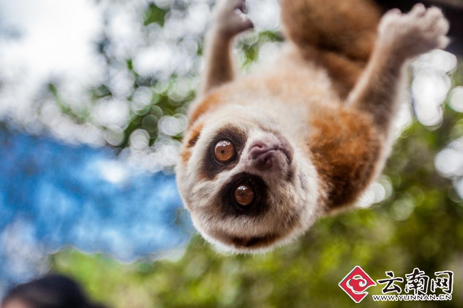 赛道经过国家一级保护动物蜂猴栖息地—蜂猴卖萌