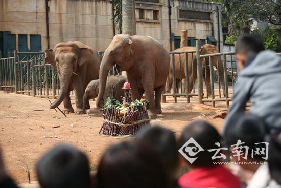 """昆明动物园小象""""莫莉""""满1岁 数百游客帮庆生"""