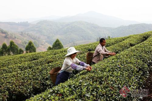 政策加码   铺就普洱茶成名之路