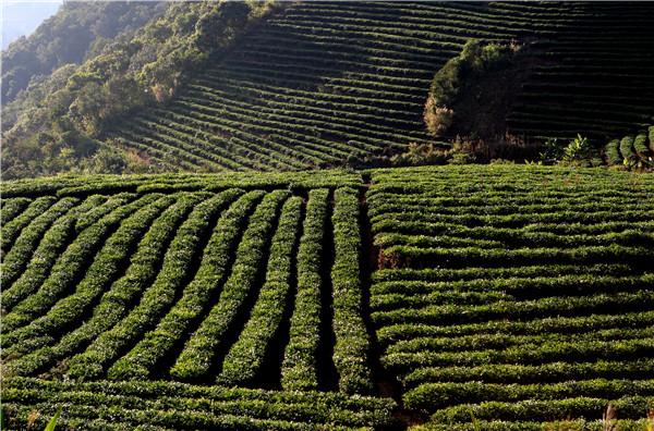云南普洱市加快发展有机茶产业