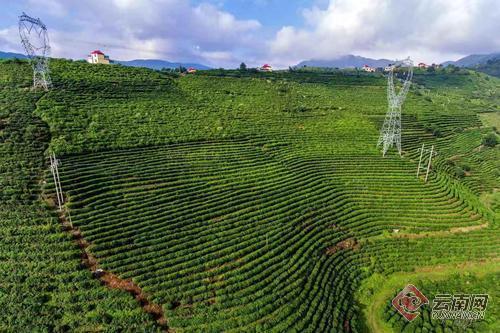 临沧推动茶叶产业转型升级,实现茶叶产量大幅增加