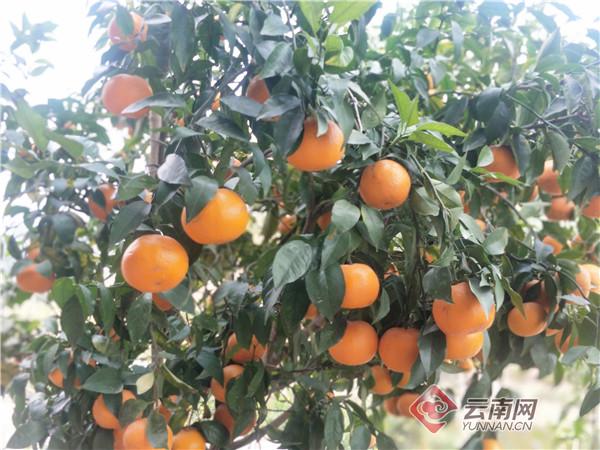 云南江城:沃柑产业全面复工 采摘外运有序进行